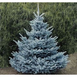 Ель колючая Picea pungens 'Blue Diamond'
